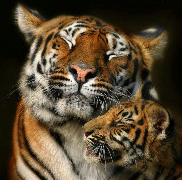 TigersTigers
