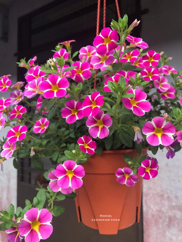 Pin By Elle Chan On Petunias In 2020 Petunias Plants Garden