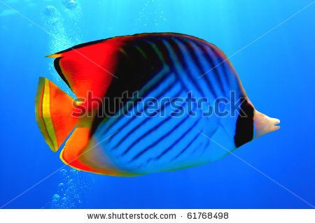 Threadfin Butterflyfish Chaetodon Auriga Red Sea Egypt By Vlad61 Via Shutterstock Stock Photos Red Sea Photo