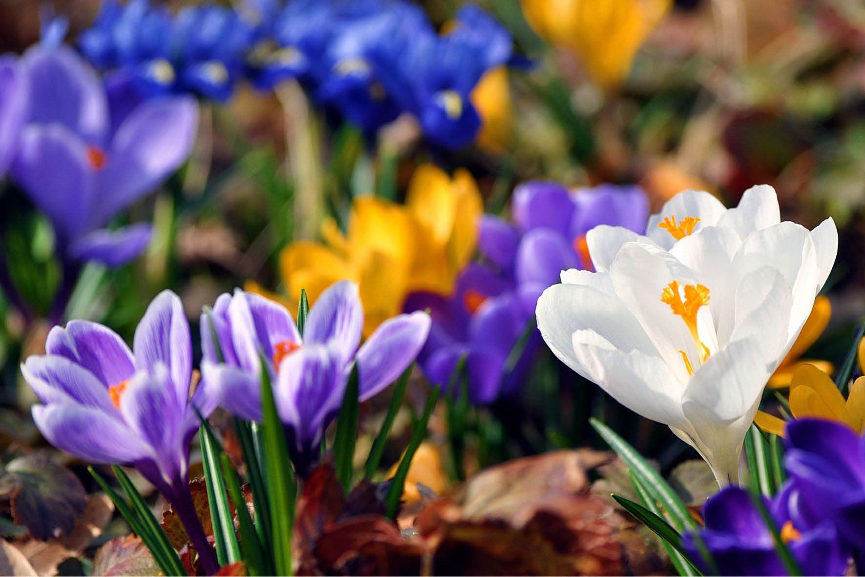 krokussen luiden de lente in! de winter is voorbij. | flower