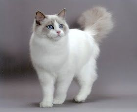 Size And Weight Of Ragdoll Cat With Images Beautiful Cats Popular Cat Breeds Pretty Cats
