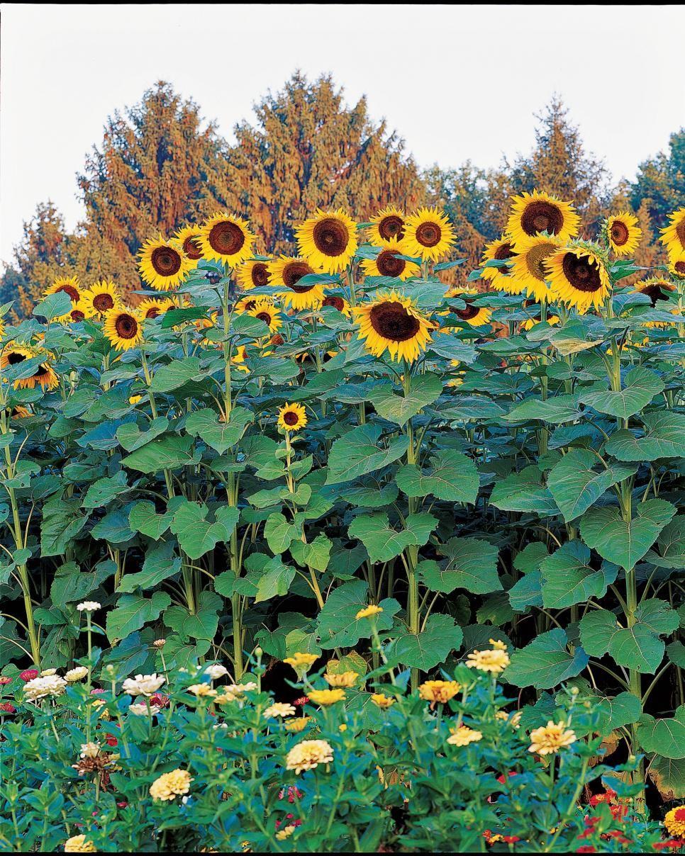 Big And Small Sunflower Varieties Different Sunflower Sizes Hgtv Sunflower Garden Growing Sunflowers Small Sunflower