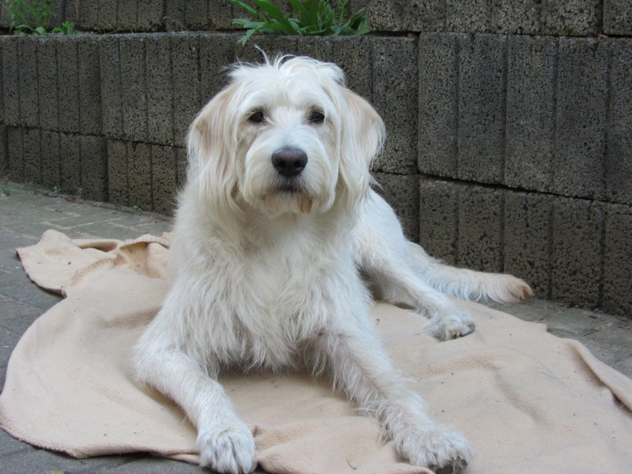 Polly Labradoodle Pawshake Labradoodle Hund Hunde Tier Fotos