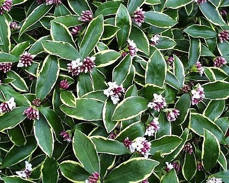 Daphne odora 'Aureo-marginata' or Variegated Daphne is hot today in the nursery at Westport Winery Garden Resort. This evergreen shrub features long glossy green leaves with yellow edges plus fragrant pink flowers. It enjoys full sun exposure and is deer resistant. The resort is open daily 11-7.