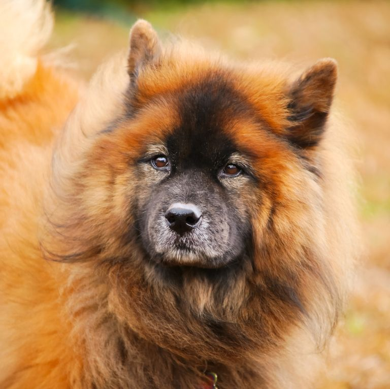 These Pups Will Have Your Friends Wondering If You Adopted A Dog Or A Bear Dog Adoption Russian Bear Dog Dogs