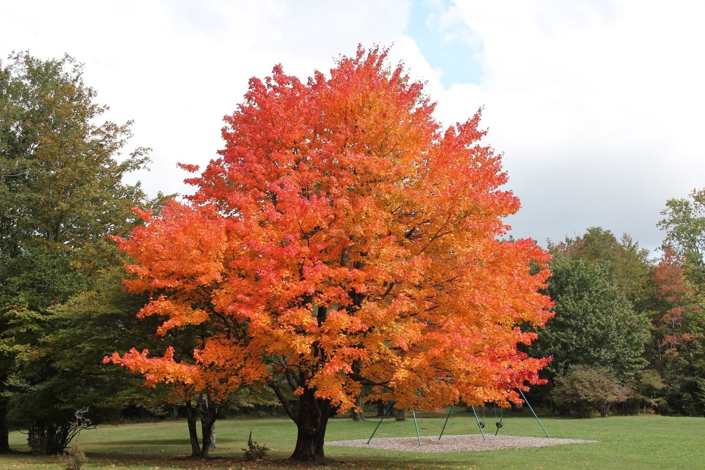 Sugar maple wonderful large tree slow growing shade tree mature height 60 39 fall colour - Planting fruit trees in autumn ...