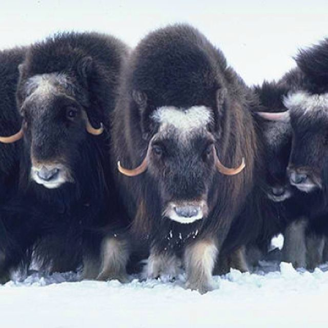 Muskox is an Arctic mammal.  In the Scandinavian countries the muskox primarily lives in Greenland with a small populations in Sweden and Norway.