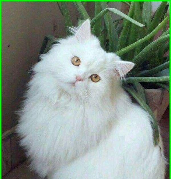 27 Foto Lucu Kucing Anggora 5000 Gambar Kucing Lucu Imut Dan Paling Menggemaskan Download Cara Merawat Kucin Di 2020 Gambar Kucing Lucu Kucing Persia Kucing Lucu