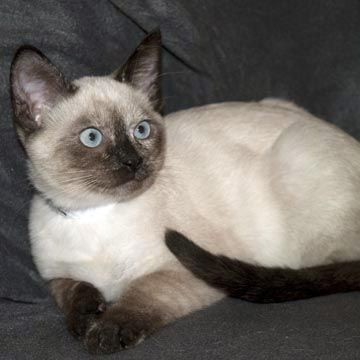 Peppermint 4 Month Old Tortie Point Kitten At Pacific Siamese