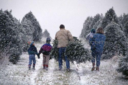 Christmas Tree Farms Christmas Tree Pictures Live Christmas