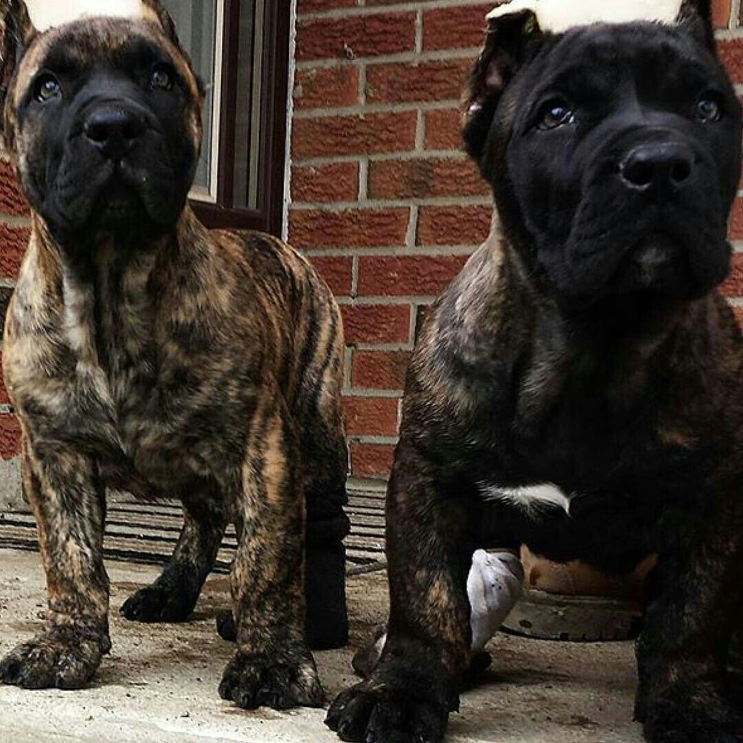 Pin By Glamheartcafe On Presa Canario Dogue Des Canaries Cane Corso Cane Corso Puppies Corso Dog