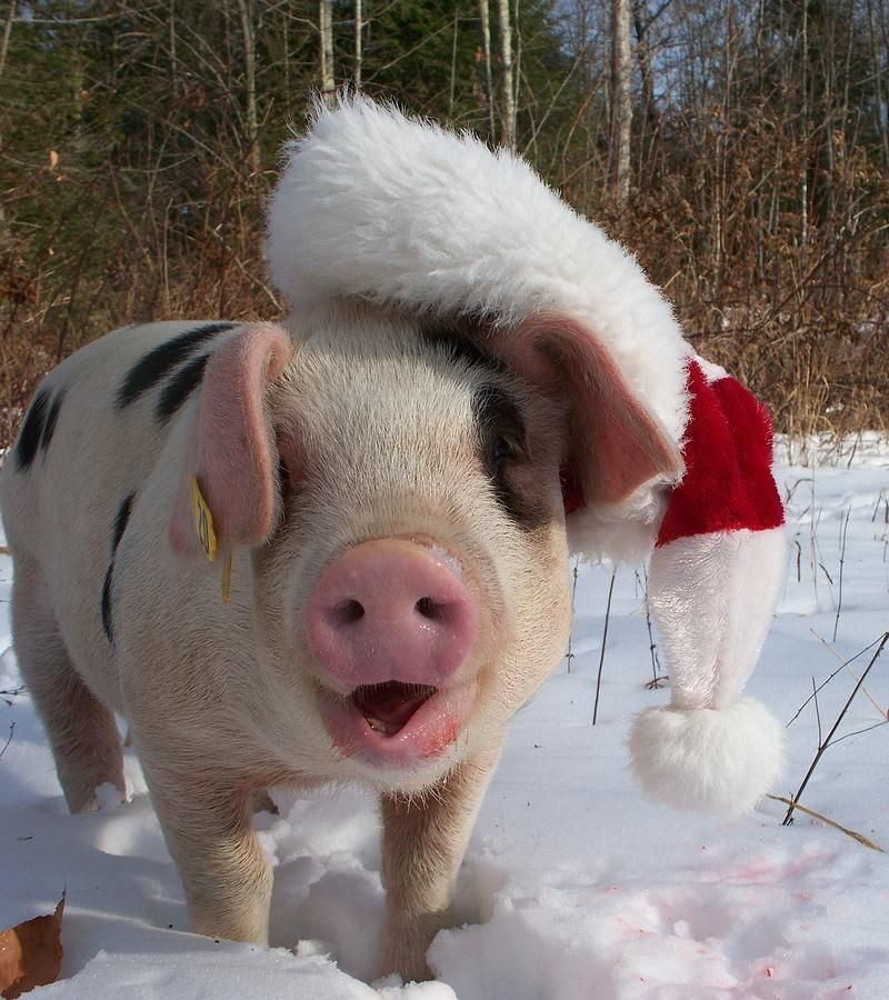 Christmas Pig by Samantha Howell Cute pigs, Cute piglets