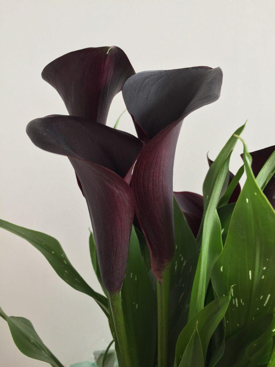Calla Lily Flower Flowersandflowerthings In 2020 Calla Lily Black Flowers Lily Flower