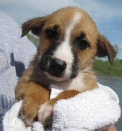 Petango.com – Meet red aussie/cattledog 6, a 2 years 8 months Australian Shepherd / Australian Cattle Dog available for adoption in KANSAS CITY, MO