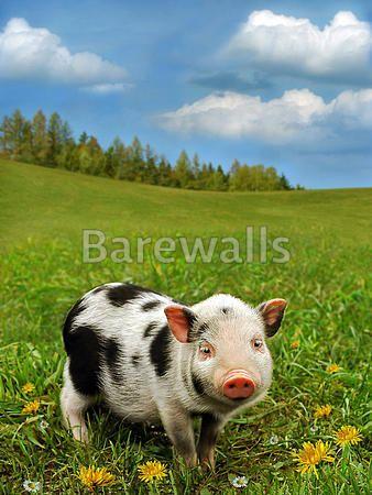 Cute Piglet On Spring Meadow Art Print Poster Dyr Sode Dyr Og Grise