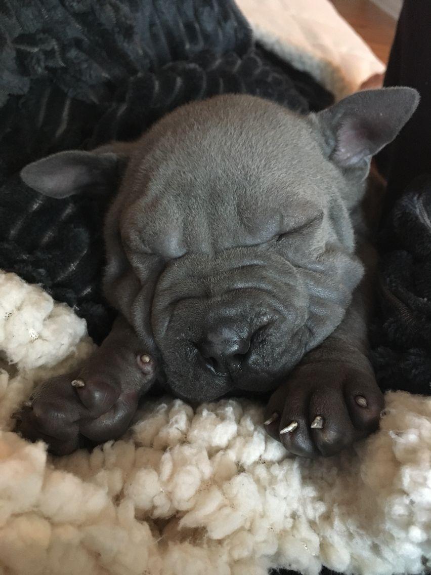 Mini Blue Sharpei puppy Shar pei, Shar pei puppies, Puppies
