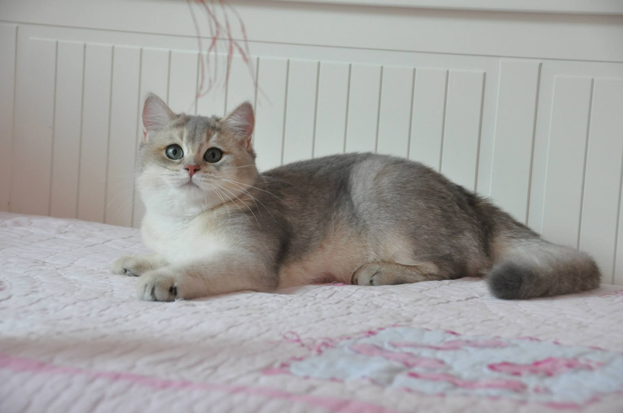 Males golden shaded and silver tabby british shorthairs