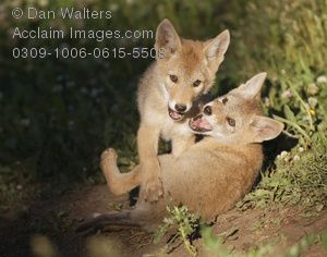 baby clothes coyote | coyote pups playing photos, stock photos, images, pictures, coyote ...
