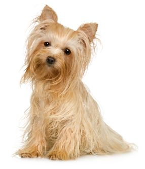 A Blonde One Just Like My Baby First Time Ive Ever Seen Another One Yorkshire Terrier Yorkie Yorkshire Terrier Puppies