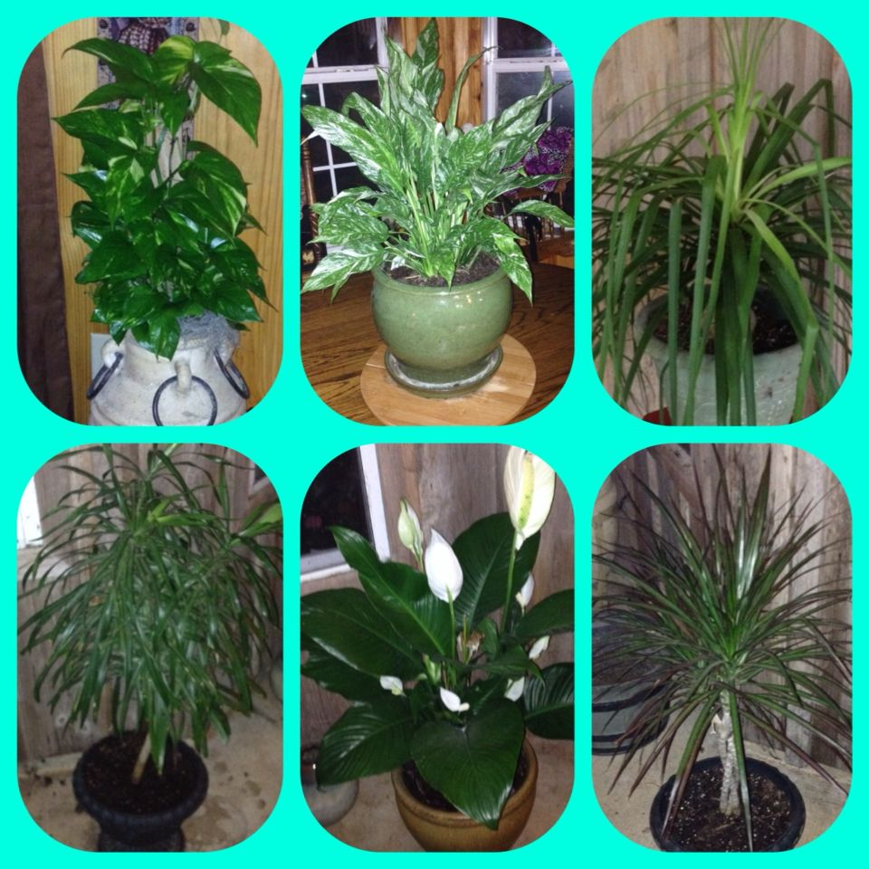 A small collection of house plants 1large leave ivy 2 variegated 1large leave ivy 2 variegated peace lily from my grand mother danzy funeral jst got it this yr2014 august 3 ponytail palm 1st yr to izmirmasajfo