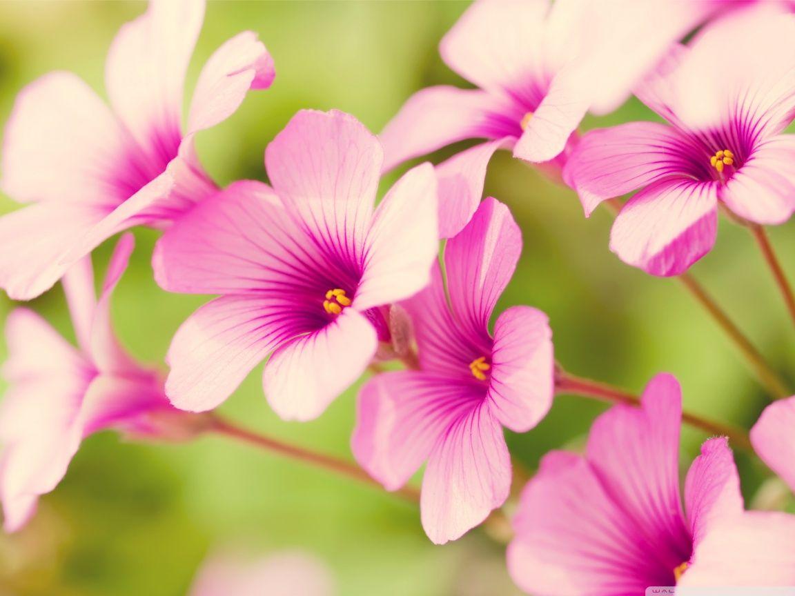 Image Detail For Pink Flower Petals Hd Desktop High Definition