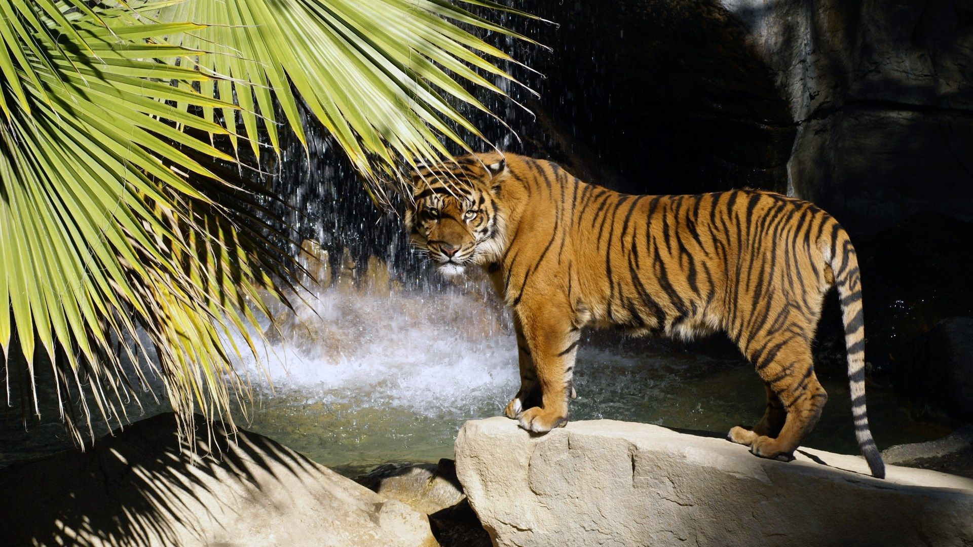 HD Widescreen Wallpapers tiger wallpaper, 1920x1080 (583