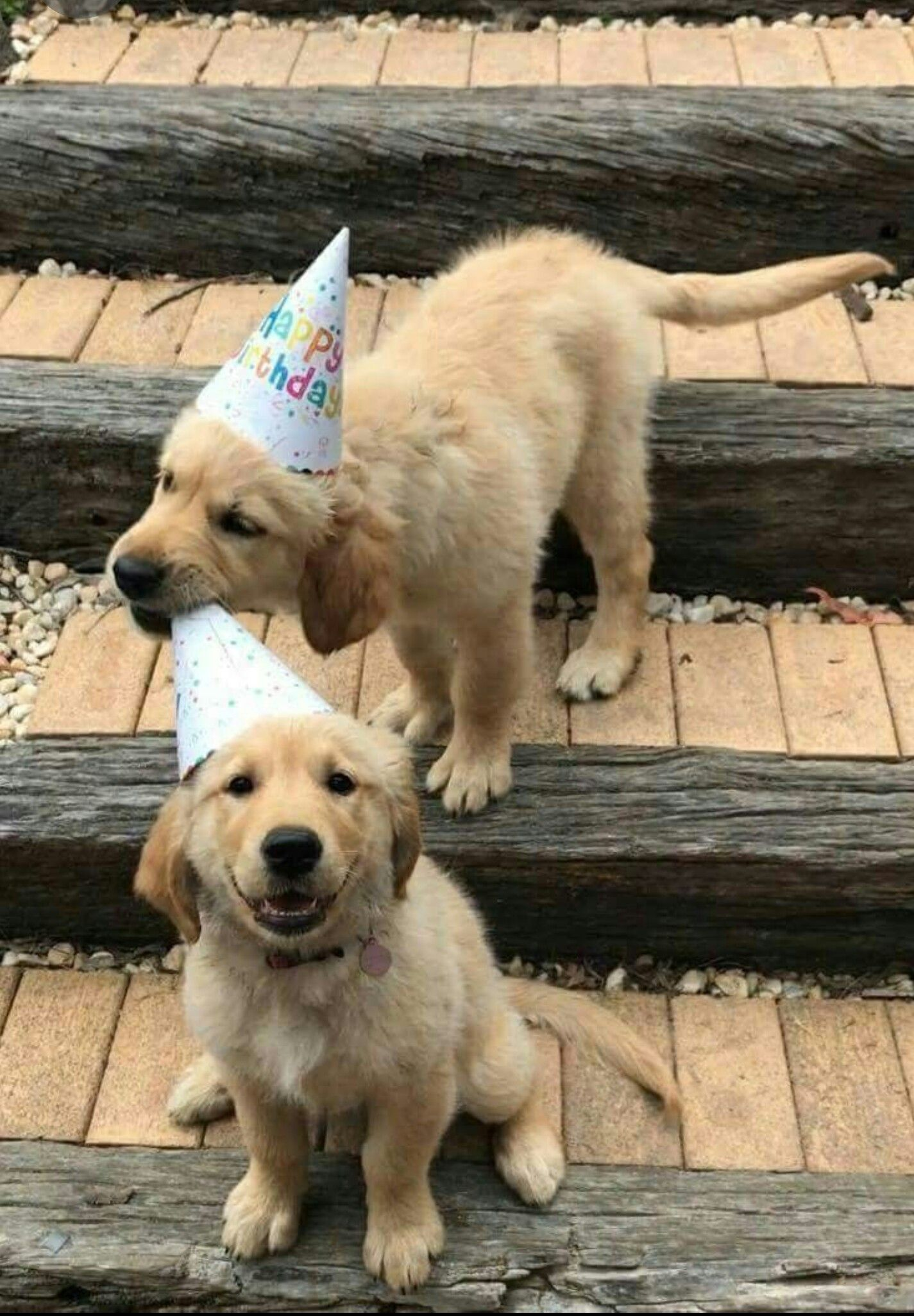 H A P P Y Cute Dogs Baby Animals Golden Retriever