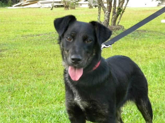Black labrador retriever german shepherd mix | Dogs ...