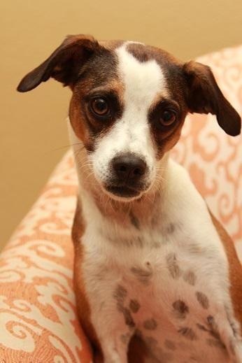 Adopt Diesel On Rat Terrier Mix Terrier Mix Beagle Dog