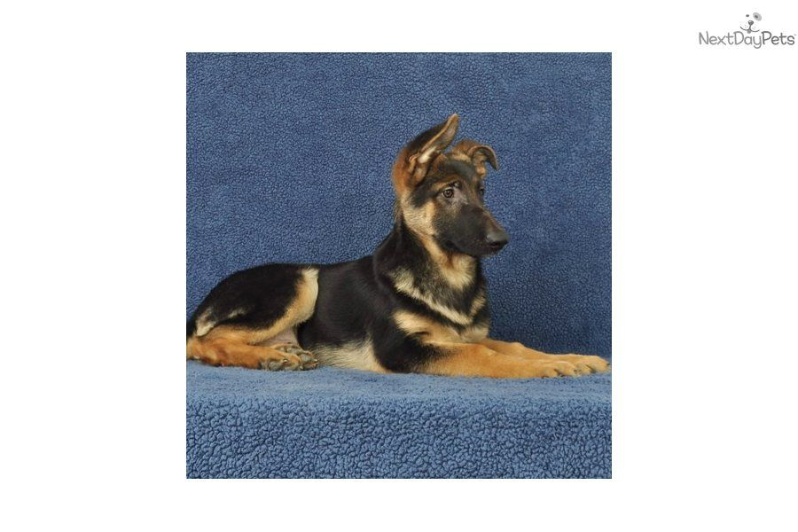 German Shepherd Puppy For Sale Akc Male Black And Tan German