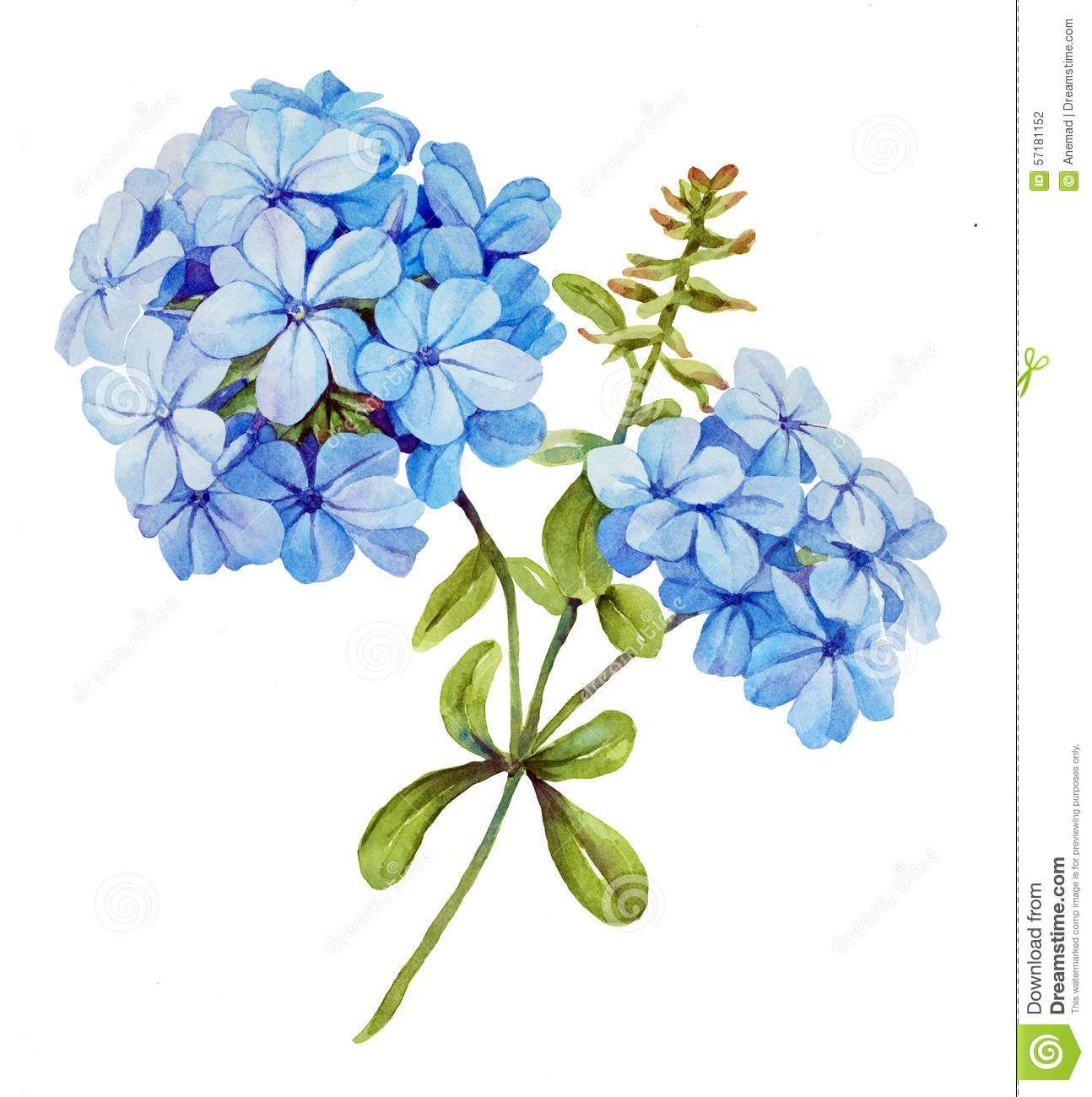 Blue Jasmine Watercolor Flower Watercolor Hydrangea Watercolor Flowers Flower Drawing