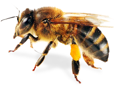 Foul Brood Quiz Bee Bee Keeping Insects