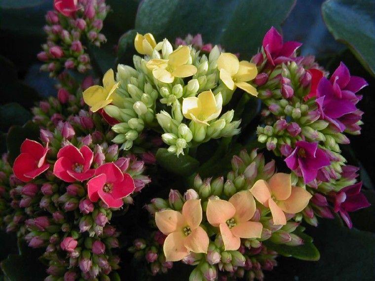 Kalanchoes Como Cuidar Flores Cultura Mix Jardinagem