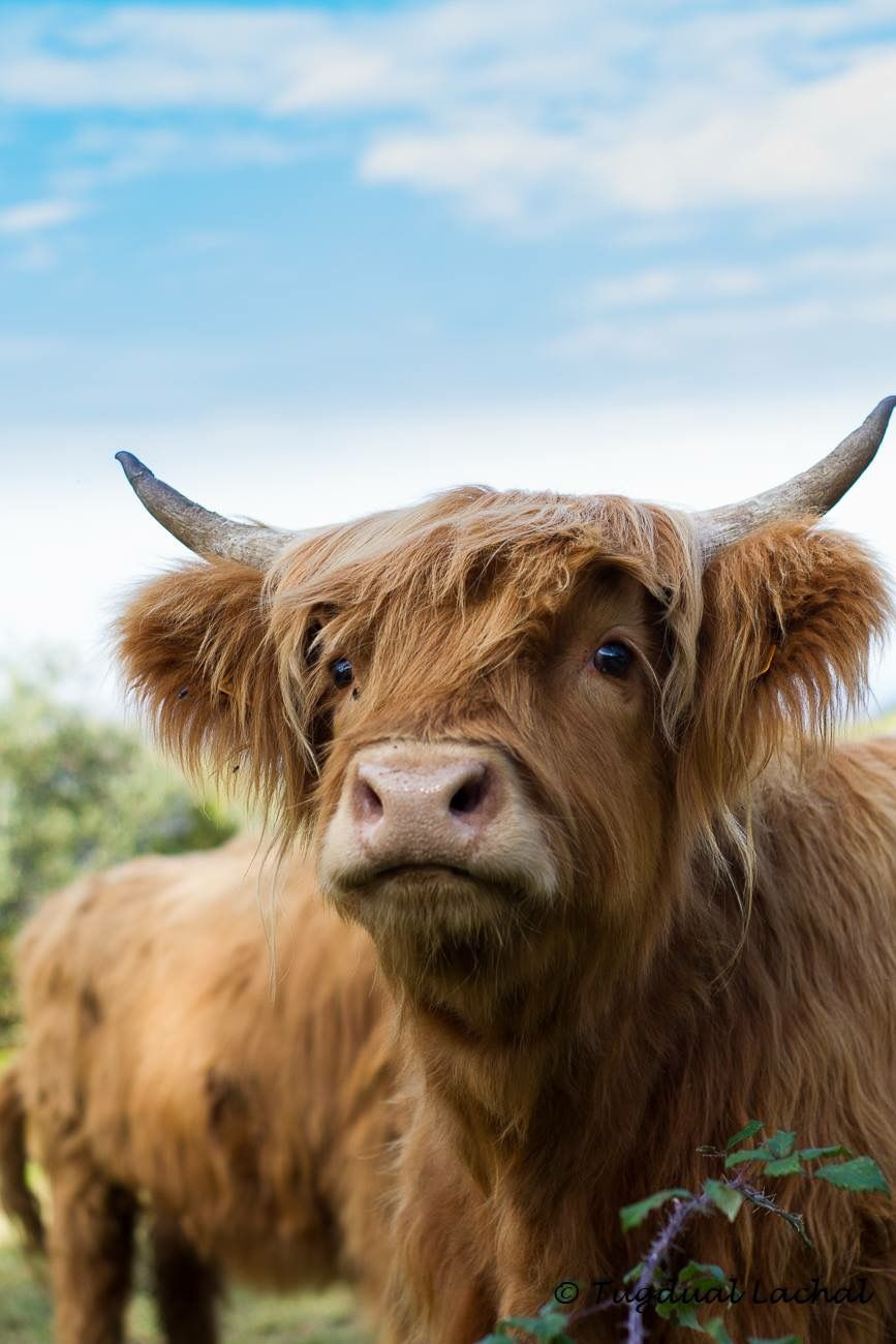 Scottish Highland Cattle … | Fluffy cows, Cute cows ...