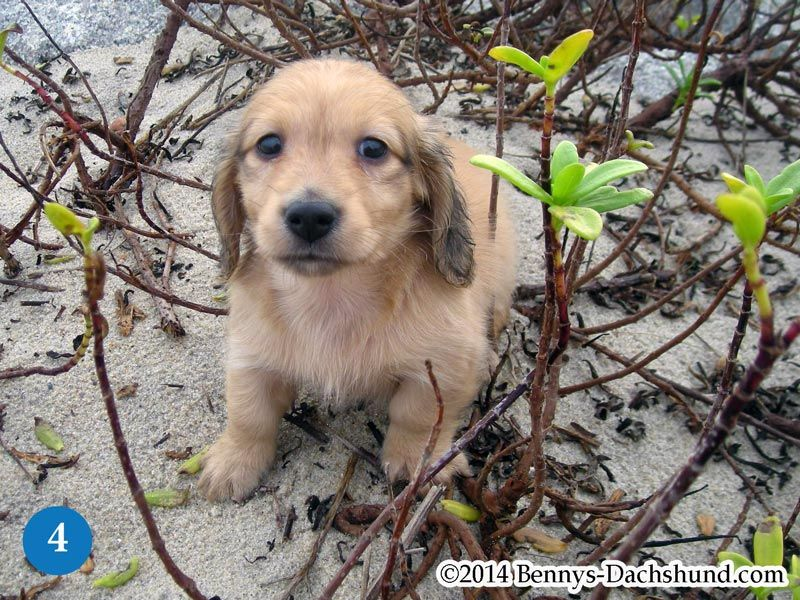 Kennel Free Dachshunds Puppies from Wilmington NC | I Want   I Need