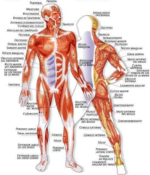 Principales musculos del cuerpo humano. | Anatomia general ...