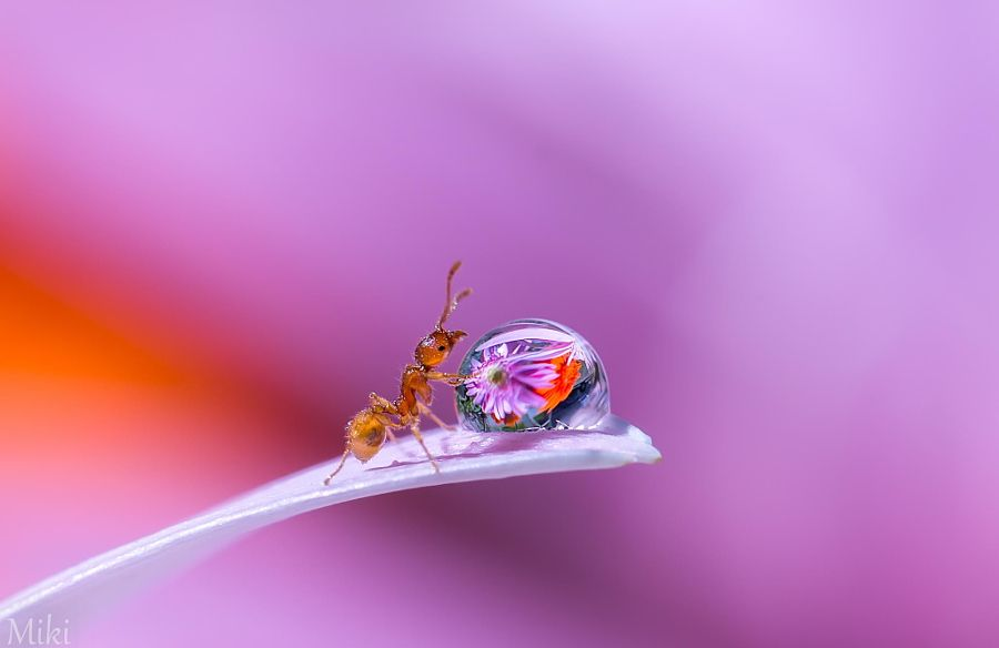ANT & DEW DROP MACRO PHOTOGRAPHY