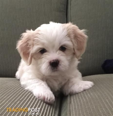 Maltese Shih Tzu Cavalier Cross Puppies For Sale In Ulladulla Nsw Maltese Shih Tzu Cavalier Cross Puppies Shih Tzu Maltese Shih Tzu Puppies