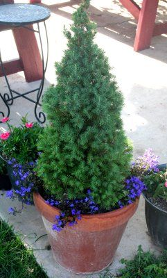 Dwarf Alberta Spruces Planted In Terra Cotta Pot And Added
