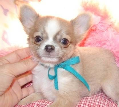 Blue Fawn Long Coat Chihuahua Pets For Sale Cute Animals