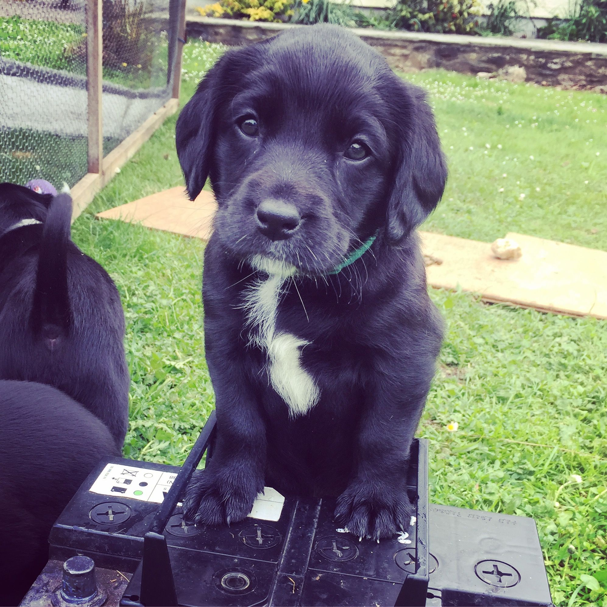 Pin By Claire Darnell Mccart On Springador Puppies Puppies Dogs Labrador Retriever