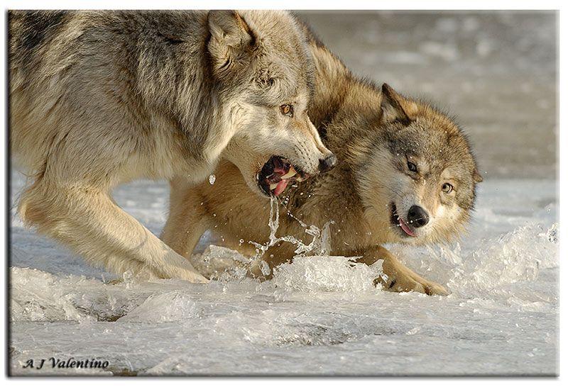 wolves fighting | Love my wolves | Pinterest | Wolves ...