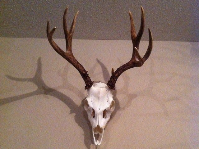 DIY Deer Skull European Mount   Cleaned U0026 Whitened! | Hunting | Pinterest |  Deer Skulls, European Mount And DIY Ideas