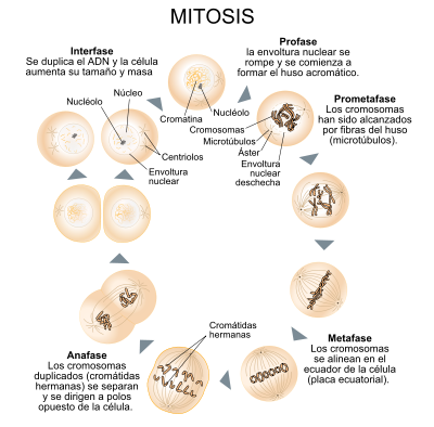 59 Ideas De Ciclo Celular Ciclo Celular Mitosis La Meiosis