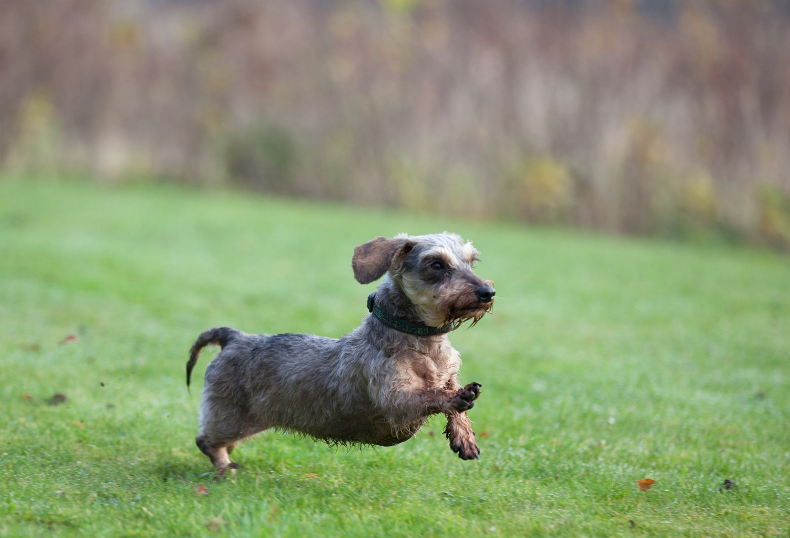 Mini Wirehaired Dachshund Running On
