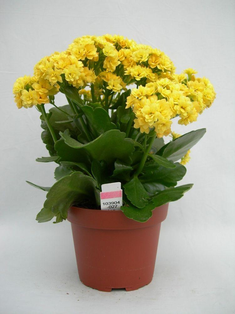 zimmerpflanzen wenig licht kalanchoe gelb flammendes kaethchen ...