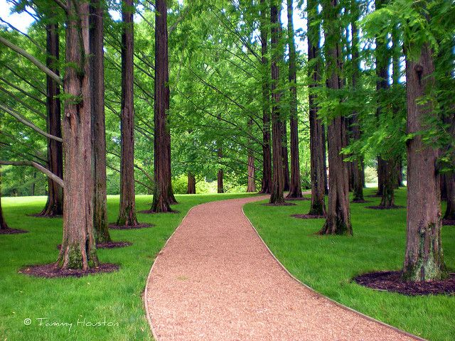 Dawn Redwood Trees Conifers Garden Driveway Landscaping Tree Lined Driveway