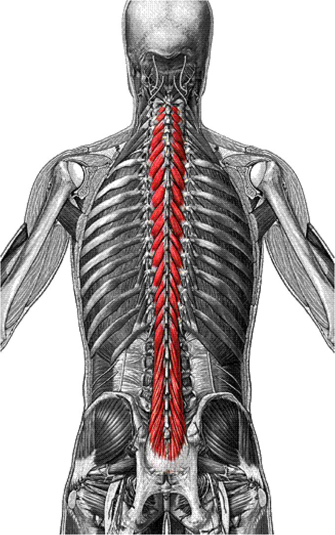 Multifidus Multifidus Muscle Pictures For Study Pinterest