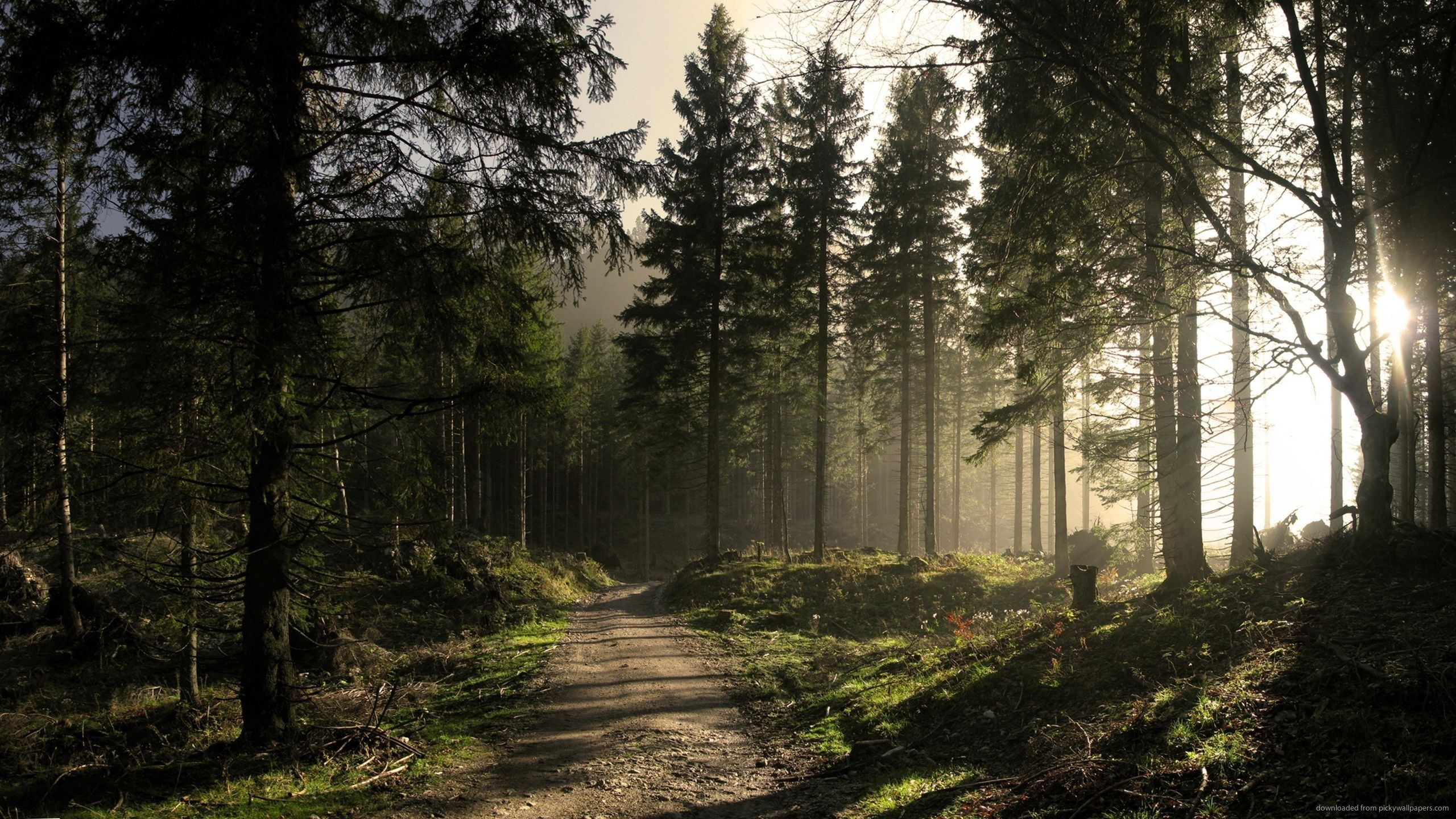 Sunny Forest Road Wallpaper Forest Road Forest Pictures Forest Wallpaper Hd wallpaper path pine trees forest