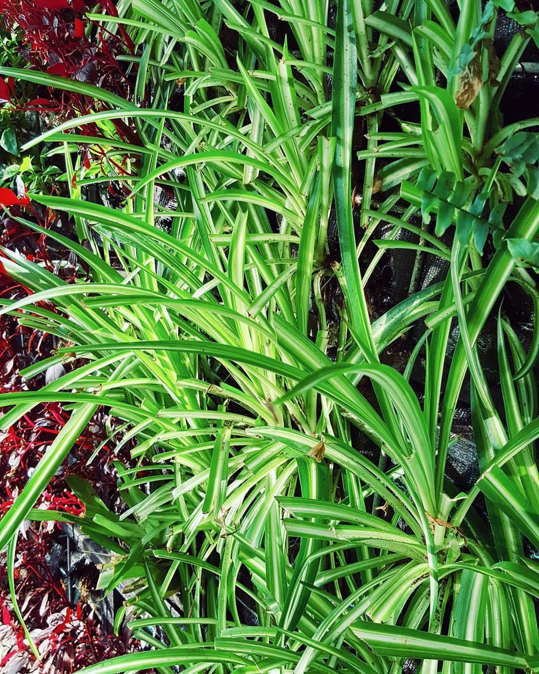 Looking For Awesome Indoor Plants Air Cleaners Think Spiderplants